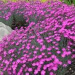 How to Grow, Pink Dianthus in Garden