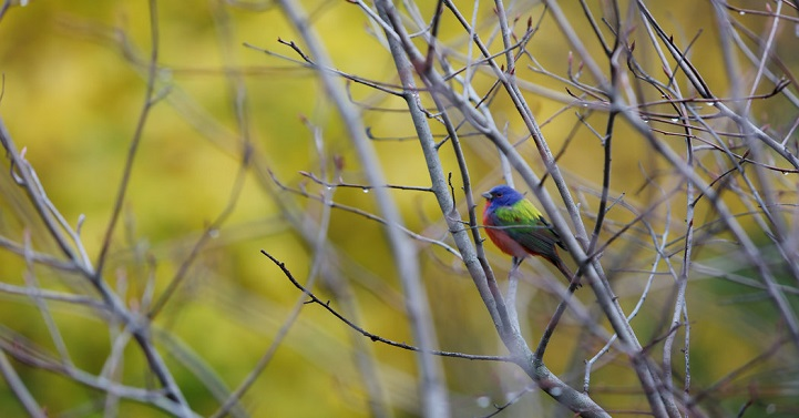 Rare sightings of a male Painted Bunting in Brooklyn, New York's Prospect Park are ruffling the feathers of Bird fanatics everywhere.
