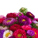 Grow Aster Flower for a Majestic of Fall Colors