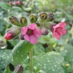 How to Grow Pulmonaria Flower