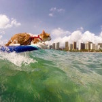 Fearless One-Eyed Cat Loves Surfing and Swimming in Hawaii