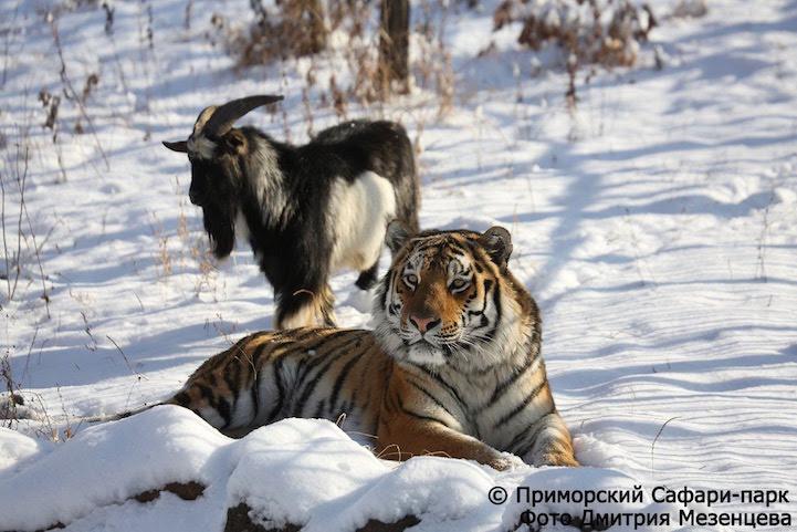 TigerGoat1