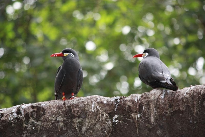 The Inca Tern spots it's prey from the air, and than dives into the water to grab foods with it's pointed beak.
