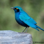 Greater Blue Eared Starling, The Gorgeous Mystery Bird