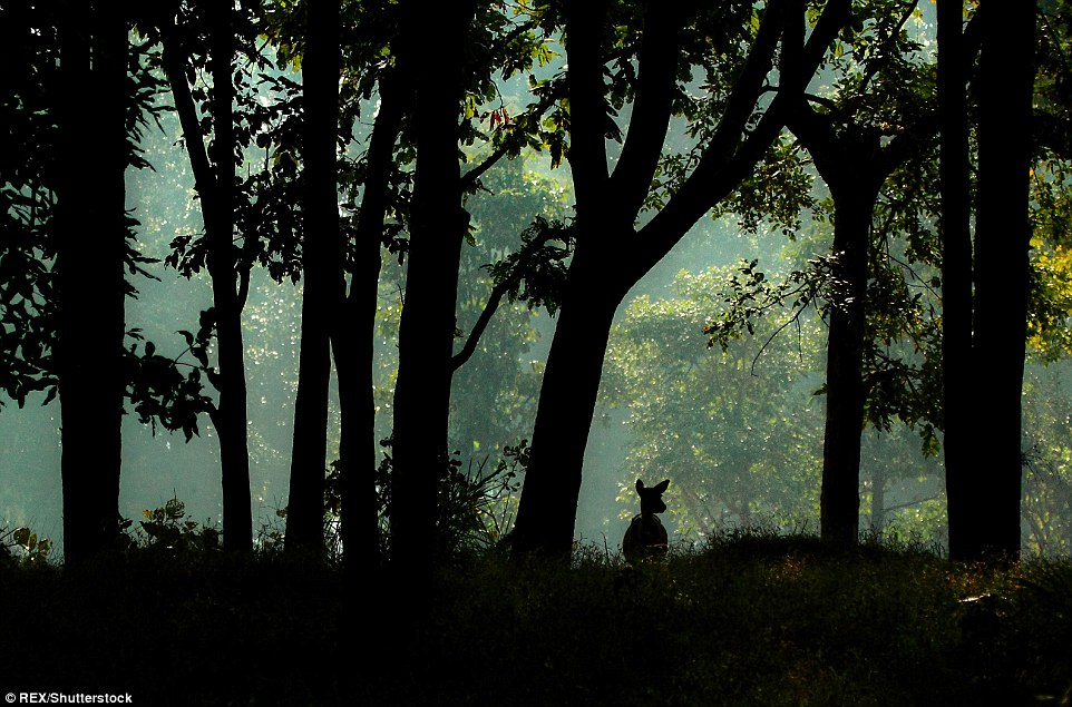 As if leaping out of a page of the Jungle Book, a deer is spotted amongst the forests of Kanha National Park in Madhya Pradesh