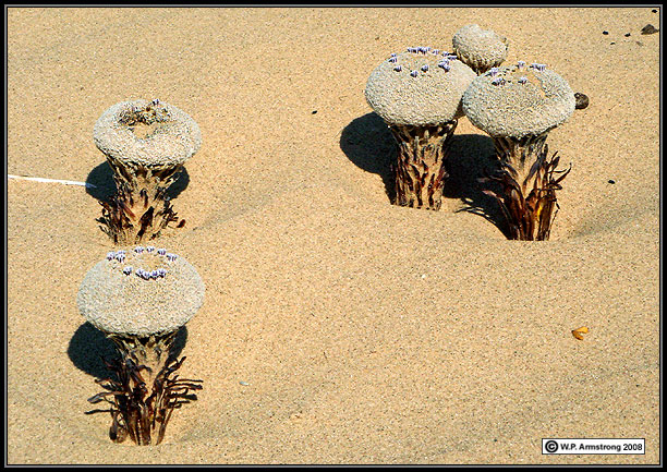 """In North America, a flower """"Pholisma Sonorae"""" is most bizarre wildflower generally recognized as sand food."""