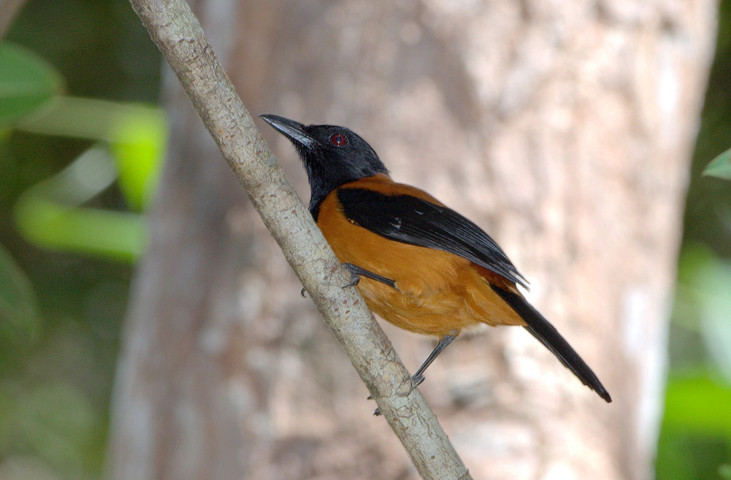 Hooded Pitohui - PNG (Poision skin and feathers)
