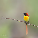 The Fire-tailed Sunbird
