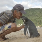 A Penguin Swims 8,000KM Every Year to See his Friend Who Saved His Life