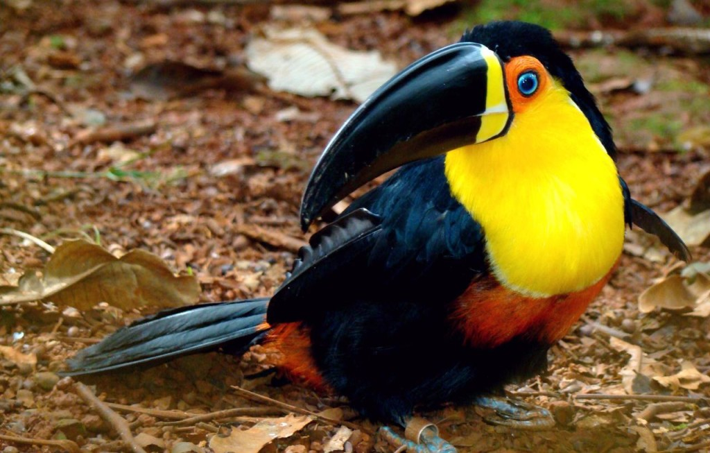 The Channel-billed Toucan breeds between March and June and during breeding season, one of these Toucans would lay between two and four eggs