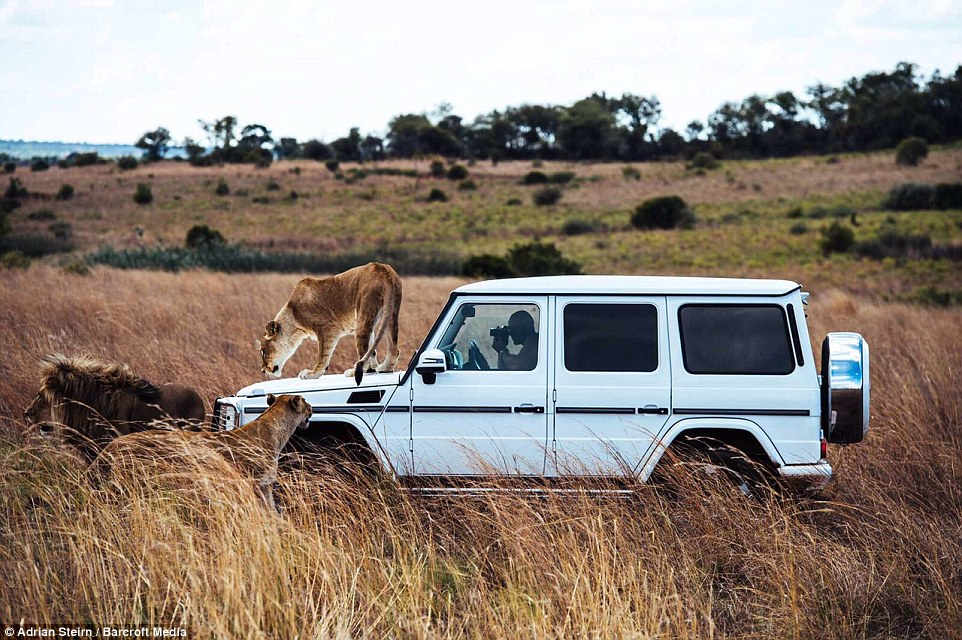 A lioness prowls across the bonnet of the car as two other members of the pride hover nearby