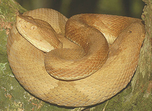 Golden Lancehead Viper (Bothrops insularis)