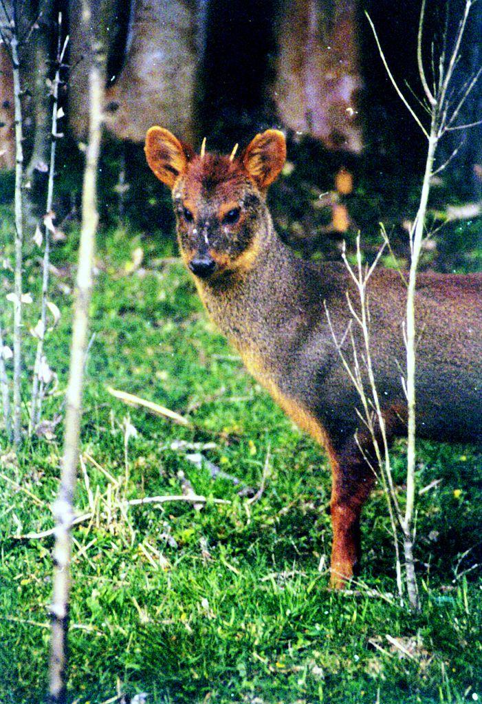 Male southern pudú; Los Lagos Region