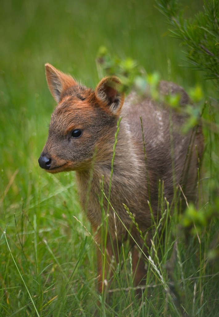 The deer is known to be very adaptable to they're environment when it comes to feeding.