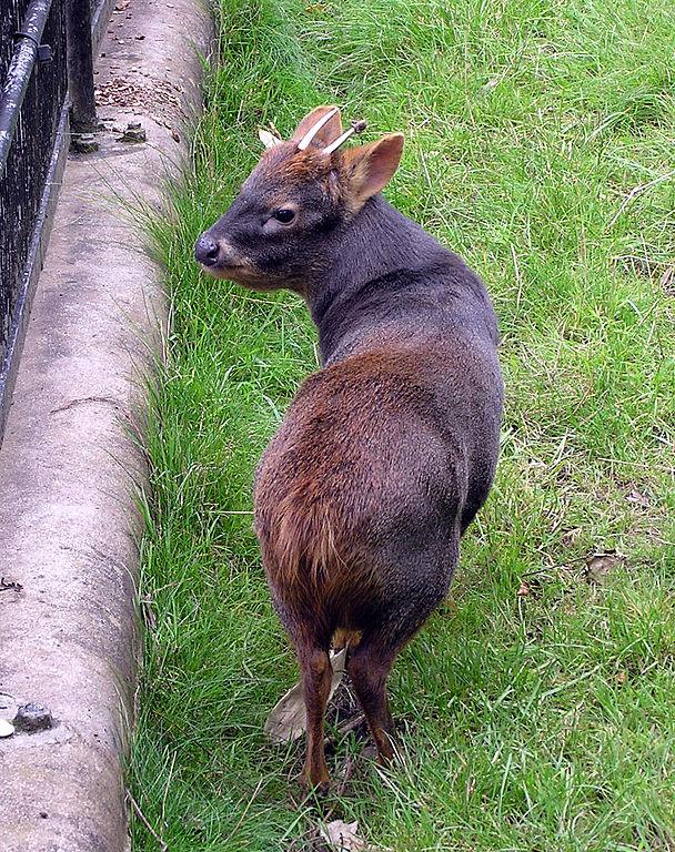 Southern pudú in captivity at Bristol Zoo