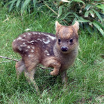 The Pudu, Smallest Deer in the World