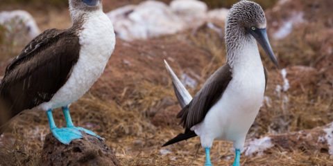 The blue-footed booby (Sula nebouxii) is a marine bird in the family Sulidae, which includes ten species of long-winged seabirds.