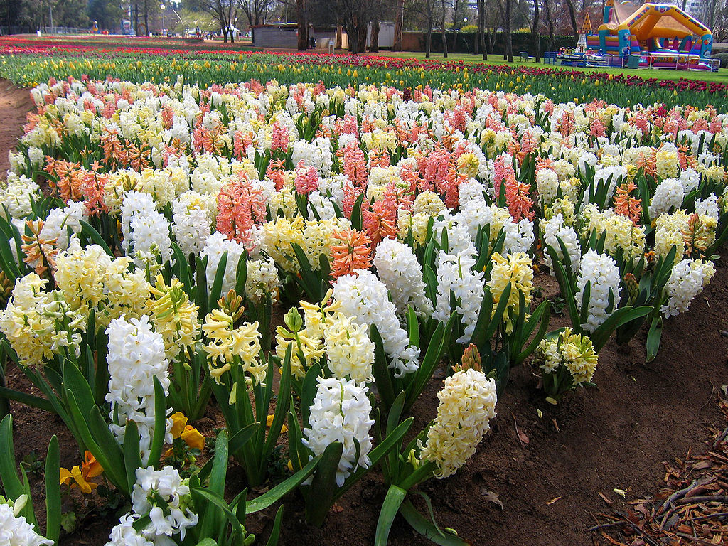 Hyacinthus is a small genus of bulbous flowering plants. To grow Hyacinth Flower actually perfume the room, then they do in gardens.