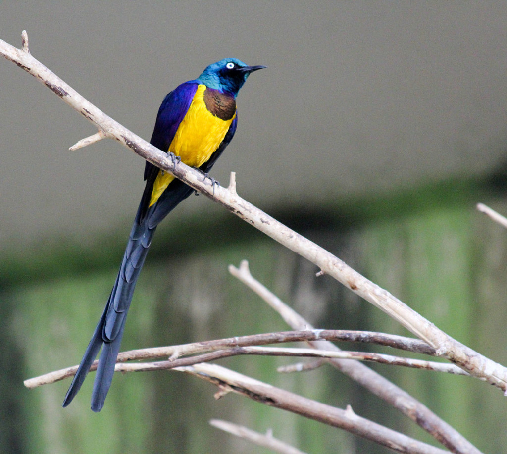 The Golden Breasted Starling is also known as royal starling and a social animal, living in groups of 3 to 12 individuals.