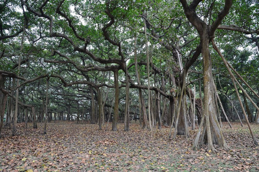 You can easily called The Great Banyan looks more like a forest then an individual tree.