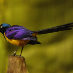 The Golden-Breasted Starling