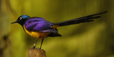 The stunning golden-breasted starling is widely distributed in the grassland, savannah and shrub-land of East Africa, from Somalia, Ethiopia, Kenya and northern Tanzania.