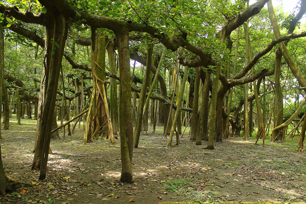 The Banyan tree has 3,772 aerial roots reaching down to the ground as a prop root and occupied area is about 18,918 meters.