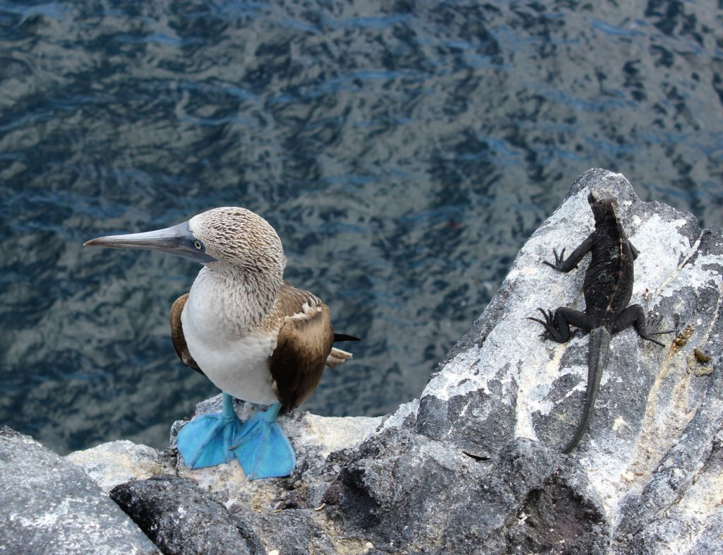 footed booby is clumsy on land regarded as foolish for there apparent fearlessness of humans.