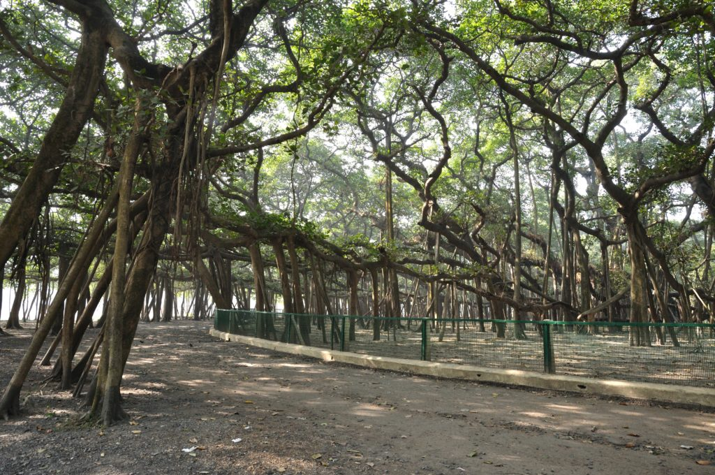 The Great Banyan tree has survived many difficult situations, like two severe cyclones of 1864, and 1867.