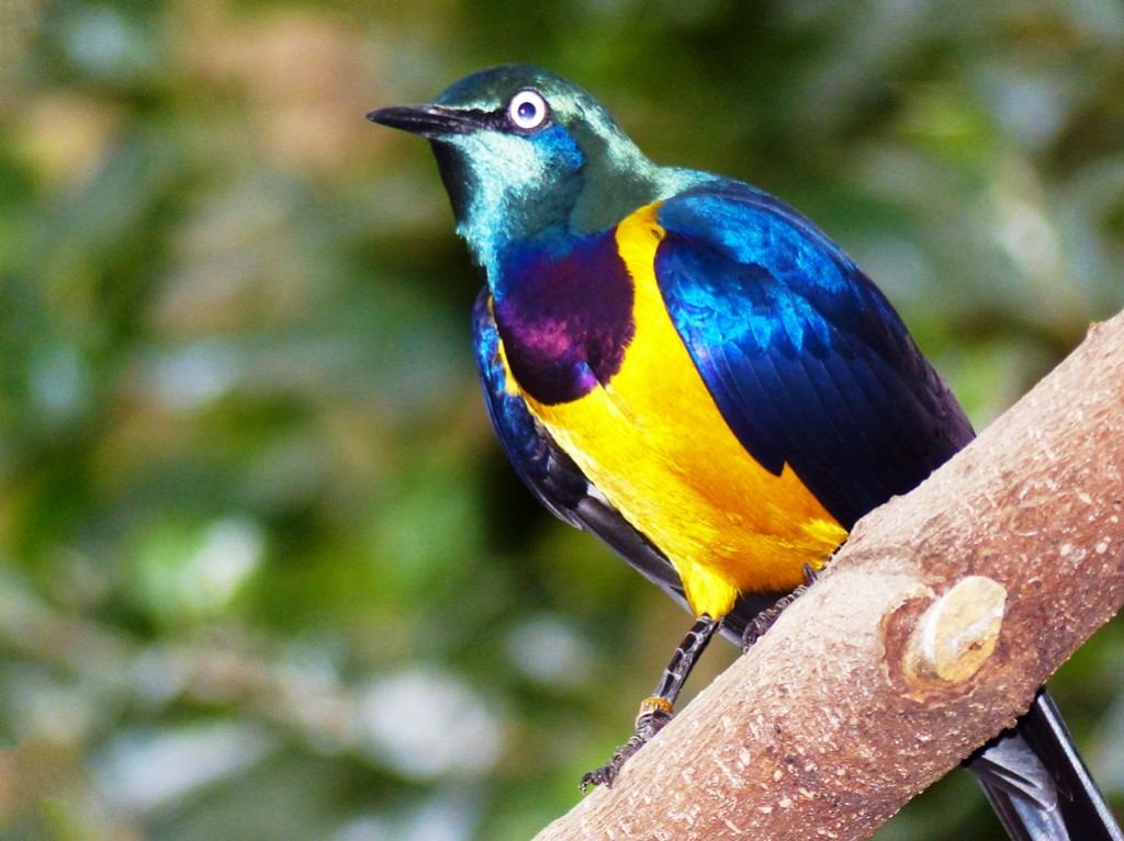 The bird is evaluated as being of least concern on the IUCN Red List of Threatened Species.