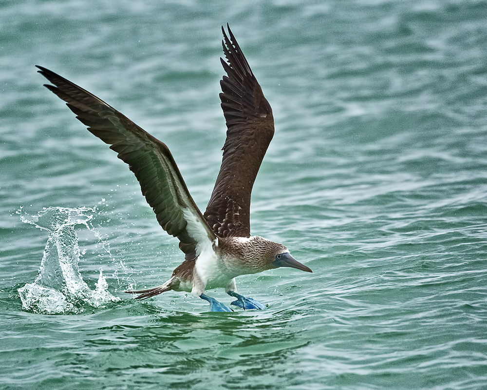 These seabirds are exceptional divers, fold there long wings back around there streamlined bodies and plunge into the water from as high as 24 meters
