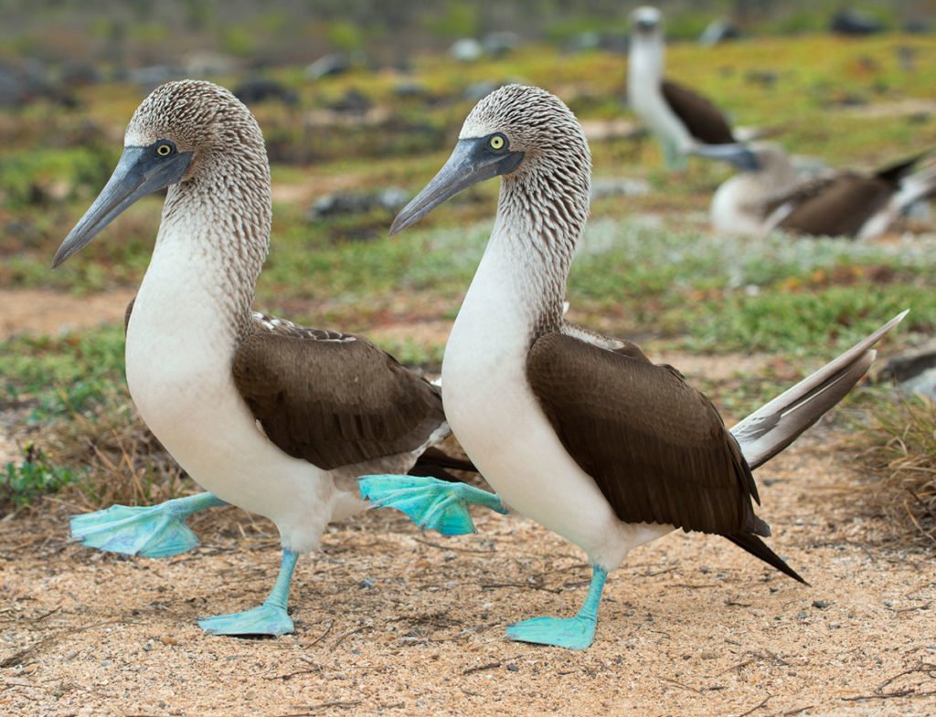 Blue-footed boobies take great pride due to there marvelous feet.
