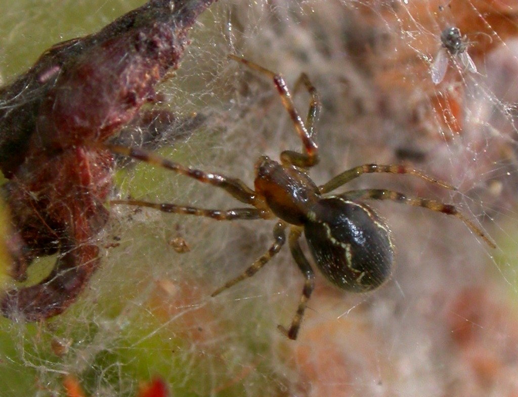 The spider name is Social Spider also called Anelosimus Eximius is spider who socializes with it's fellow spiders very quickly and builds giant spider webs reaching approximately 25 feet and 5 feet in width.