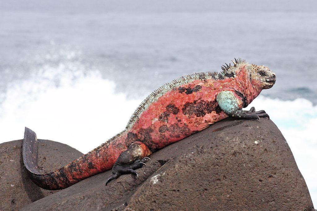 Highly colored individual of the venustissimus subspecies found on Española Island