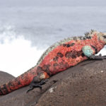 Marine Iguanas; The Most Disgusting clumsy Lizards