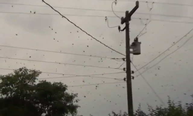In 2013 in Brazil, these spiders reportedly fell from the sky in large quantities