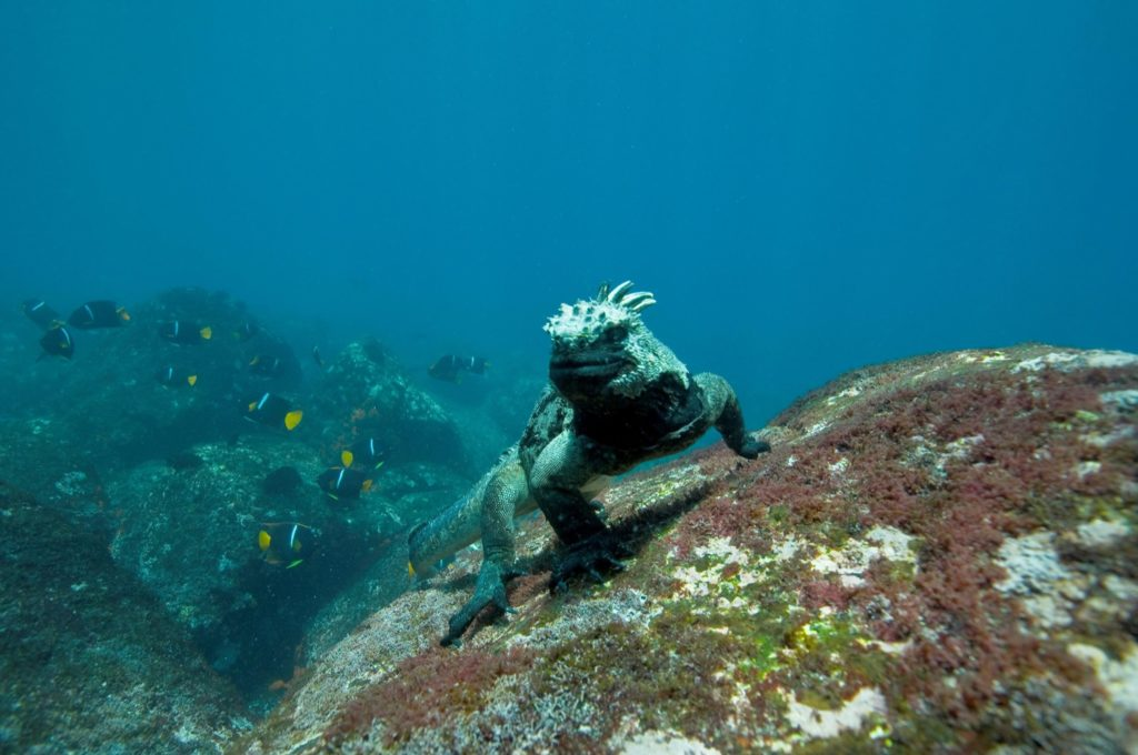 The iguanas has dark gray coloring to better absorb sunlight after they're forays into the frigid Galapagos waters.