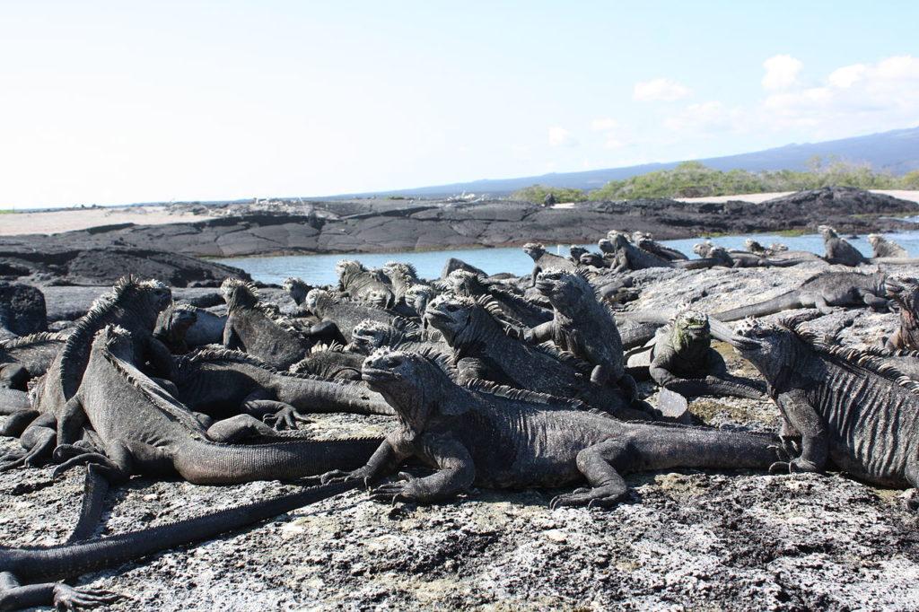 Marine iguanas, Fernandina, Galápagos Islands