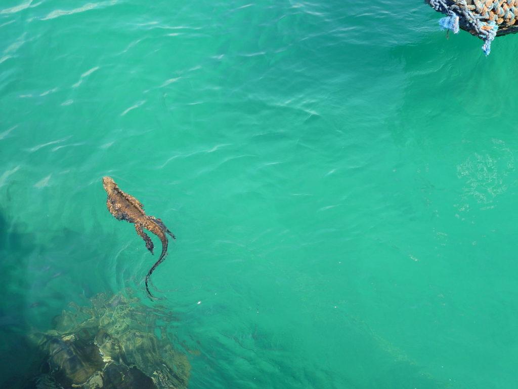 The marine iguana (Amblyrhynchus cristatus) Galápagos Islands Santa Cruz - swimming in Puerto Ayora