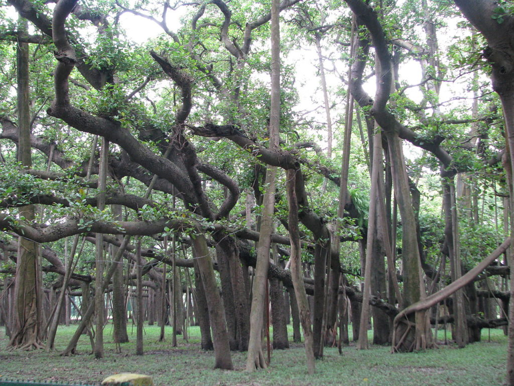 The signboard says the tree is in the Guinness Book of World Records for the widest canopy at 1.5 hectares and with about 2880 prop-roots.