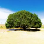 The Blessed Tree of Jordan