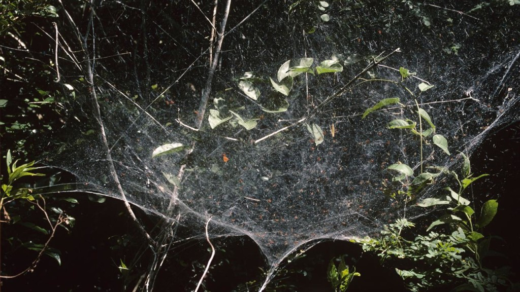 Among the countless species of spiders, their are only 23 spider's species that live in social groups.