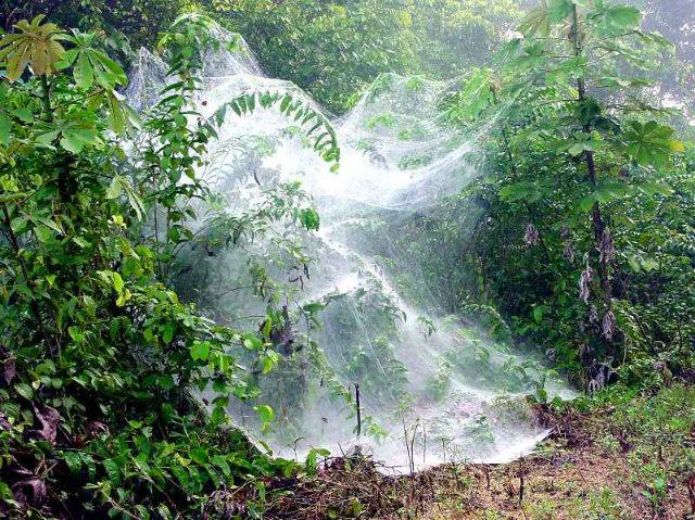 these species create massive spider webs