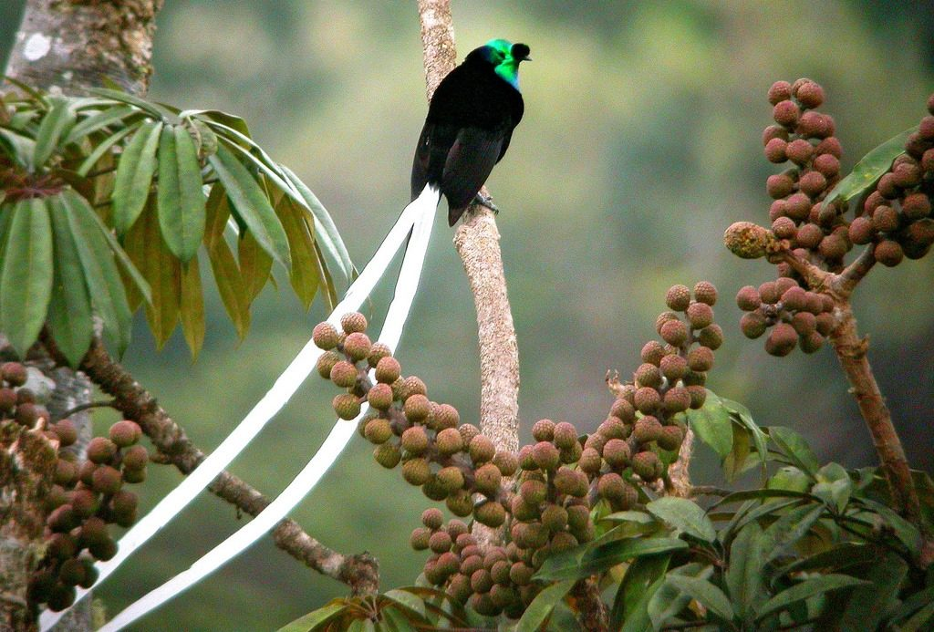 One of the most outstanding birds of paradise, the male Ribbon-tailed Astrapia has the longest tail feathers in relation to body size of any bird,