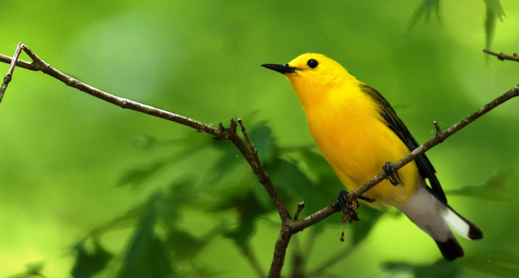 Prothonotary Warbler is one of the most striking wood-warblers of North America, intrigues and delights those who visit it's swampy world.