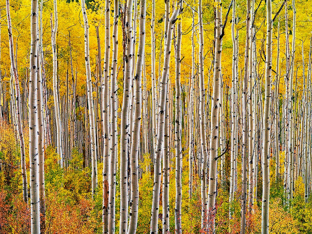 """The Pando or """"The Trembling Giant"""" is a massive grove of quaking aspens that takes the """"forest as a single organism"""" metaphor and literalizes it."""