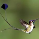The Marvellous Spatuletail