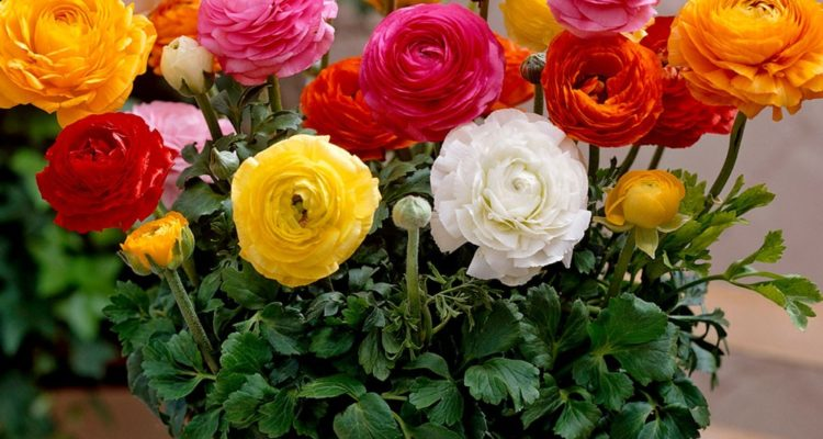 Ranunculus is a large genus of about 600 species of plants in the Ranunculaceae and members of the genus include the buttercups, spearworts, and water crowfoots.