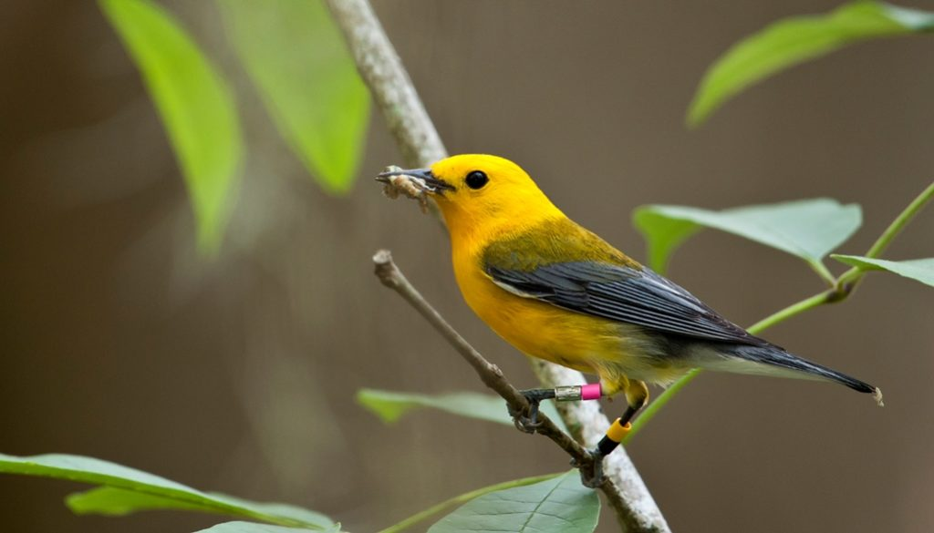 The Prothonotary warbler number is endangered in Canada, and there population is declining due to loss of habitat.