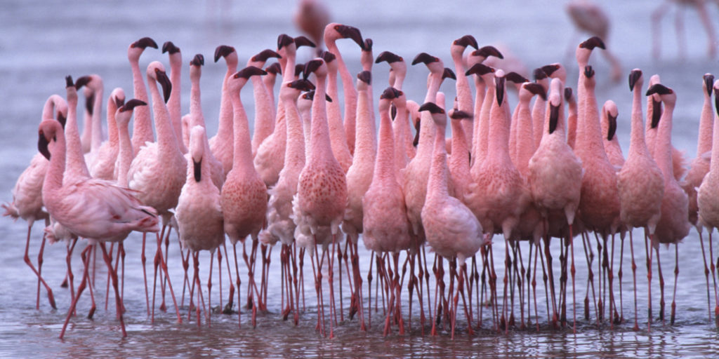Sometimes, Lake Natron temperature crosses 60 °C make the life difficult for animals and birds.